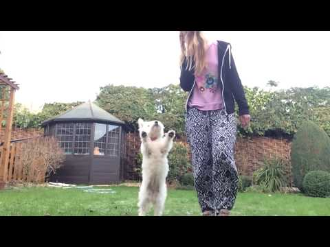 Amazing Dog Tricks Performed By Louby