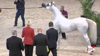 N.119 HARIRY AL SHAQAB - Paris 2015 - 4+ year old Stallion (Class CM6 A)
