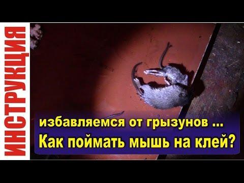 Как поймать мышь на клей - Ловушка для мышей и крыс дома, в квартире, в гараже
