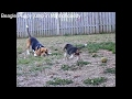 Beagle puppy jump in front of beagle daddy