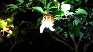 2009年7月19日、大阪府河内長野市烏帽子形公園にて。 セミ羽化の観察会...