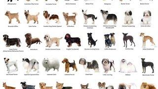 Маленькие собаки, породы