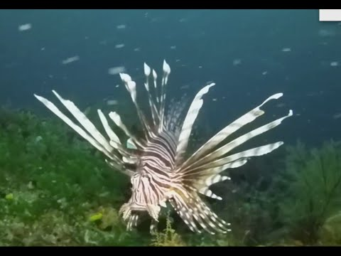 How Florida Is Handling Invasive Lionfish