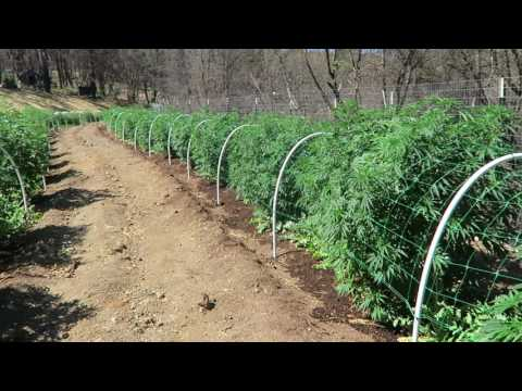 Grow Marijuana: Half-Acre Medical Marijuana Garden