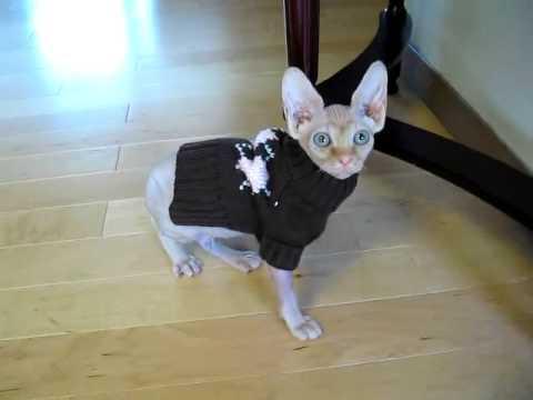 Tika The Hairless Sphynx Cat Stumbling Around In Her New Sweater
