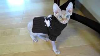 Tika the hairless sphynx cat stumbling around in her new sweater.