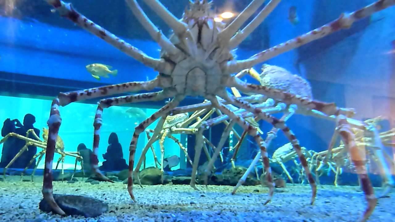 Spider crab - photo#50