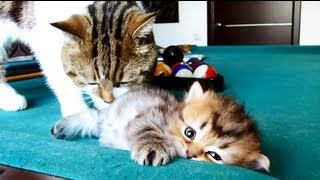 Big brother Rocky and Tiny siblings .  Funny Cats and Cute Kitten