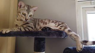 Bengal Kittens React To New Cat Tree | 4K