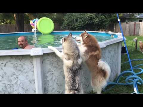 Impatient husky