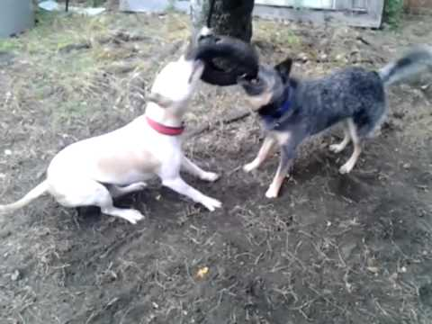 Pitbull vs blue heeler