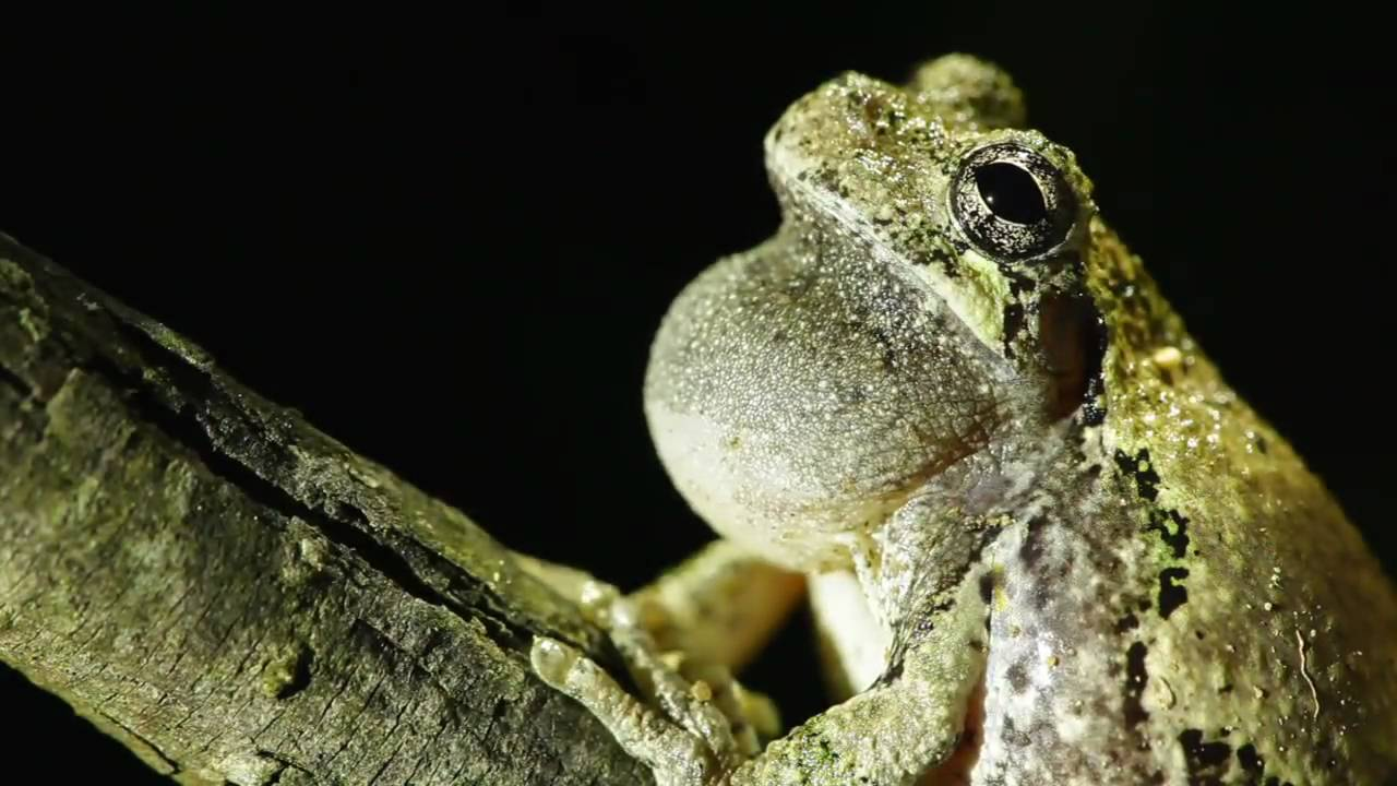 Gray Tree Frog - Pet Care, Cage Setup, Diet, and Husbandry