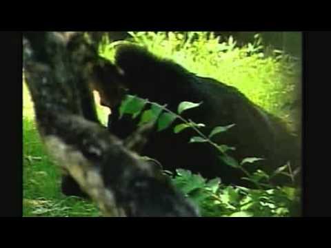 BBC NEWS   Science Nature   World s oldest gorilla is 55