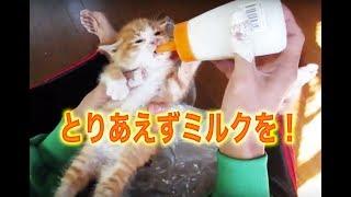 ミルクを飲む子猫達