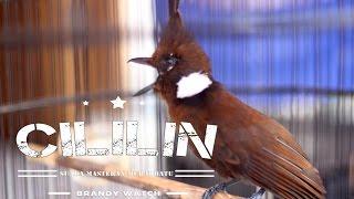 Download Mp3 Suara Burung : Tembakan Cililin Rapat Ngotot Durasi Panjang Cocok Masteran Murai