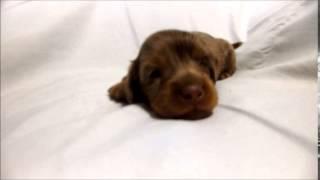 ダックスフンド専門店 http://aidol-doggy.com/daltukusu/ ブリーダーの...