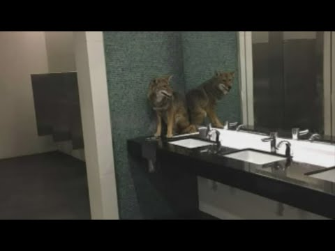 Nashville officer helps wrangle coyote from bathroom at Music City Center