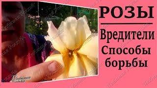 Вредители роз. Как бороться с цветоедами тлей трипсами гусеницами