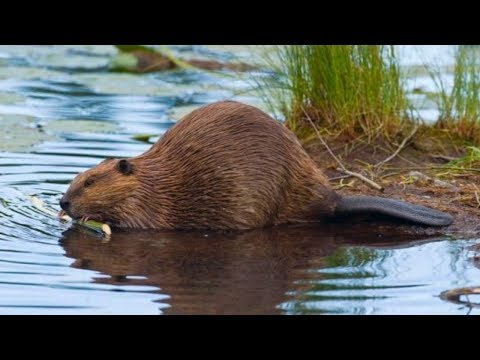 Beaver Hunting! {Catch Clean Cook} Beaver Pie