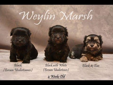 Havanese Puppies Born December 15 2018