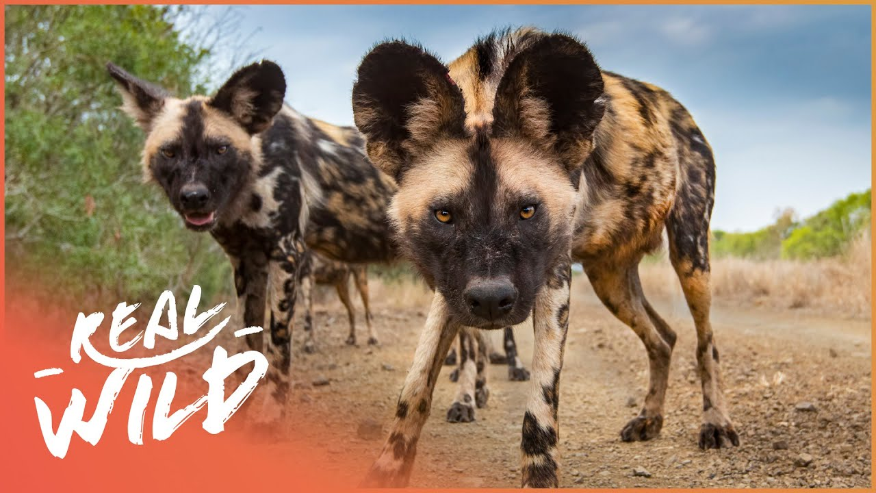 Wild Dogs Biting Back [Wild African Dogs Documentary] | Real Wild