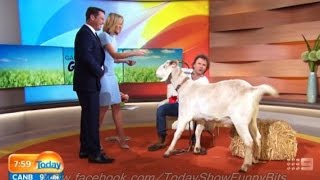 Today Show Funny Bits Part 68. You've Goat to be Kidding Me!