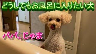 193. お風呂大好きトイプードル。飼い主が先に入ってたらどうするの?