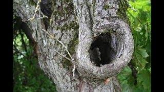 Дупло в дереве. Чем это опасно и как вылечить дерево?!