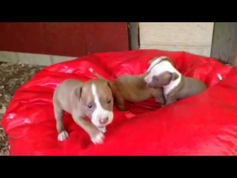 Red Nose Pitbull puppies FULL-blooded, for sale $250, brindle female pit puppy, 706 528 0513