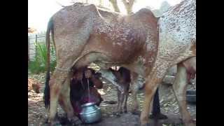 shanti ben milking DSCF0706 Thumbnail