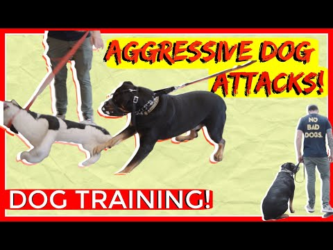 Dominant Aggressive Rottweiler Attacks other dogs - Dog Rehabilitation with Americas Canine Educator