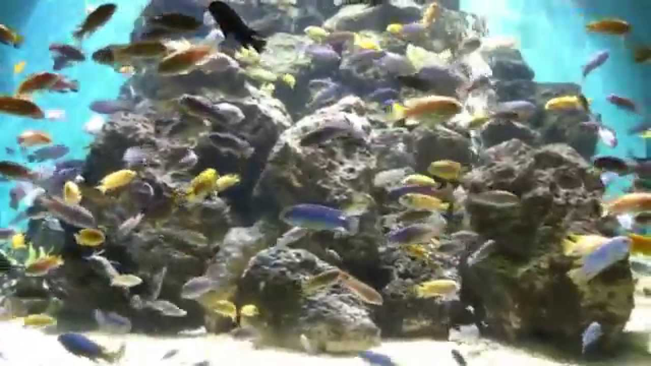 huge african cichlid tank hd youtube