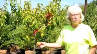 How Grow Peaches Four Your Landscape