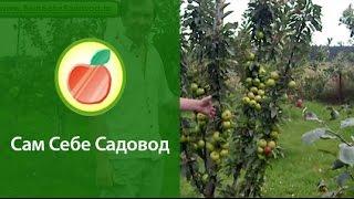видео Васюган - яблоня колоновидная, ее характеристики