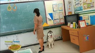 เรื่องเล่าเช้านี้ นักเรียนเฮฮา! เมื่อคุณครูพาน้องหมาไซบีเรียน ผูกเอวมาสอนหนังสือด้วย