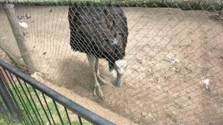 Одинокий страус в минском зоопарке.(, 2014-07-23T16:20:25.000Z)