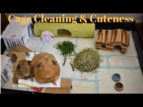 Guinea Pig Cage Cleaning + Cuteness