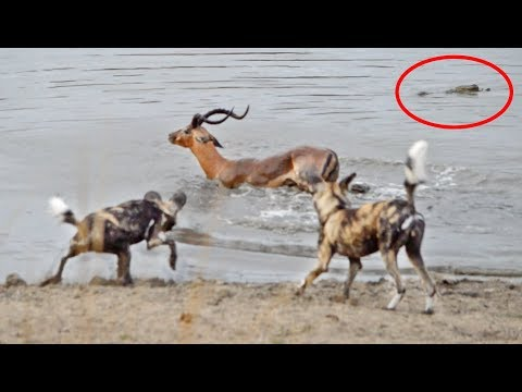 Impala vs Wild Dogs vs Crocodile vs Hippo