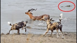 Impala vs Wild Dogs vs Crocodile vs Hippo!