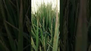 Blast disease on rice plant