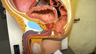 Anatomy Male Urinary System- Urinary Bladder & Urethra