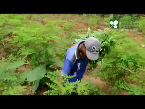 Organic Moringa Harvesting Method