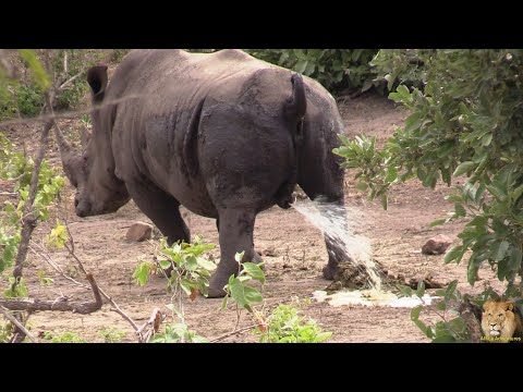 Exclusive: A Day In The Life Of A Kruger Park Rhino Bull