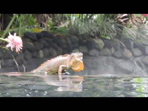 Cold blooded creatures enjoy the Hot Springs by Tachiz Travel Costa Rica