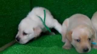 ラブラドール子犬!!<子犬の利根RS>