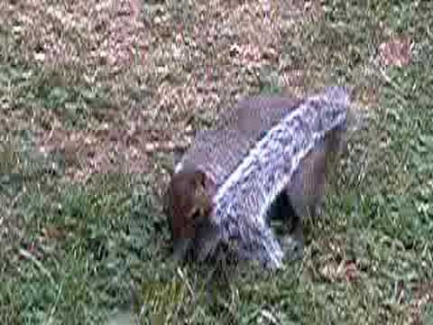 Squirrel Digging Holes