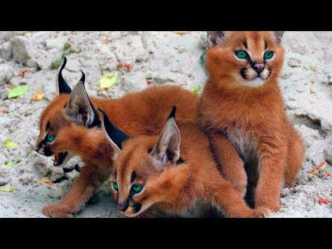 15 Weirdest Cat Breeds In The World!