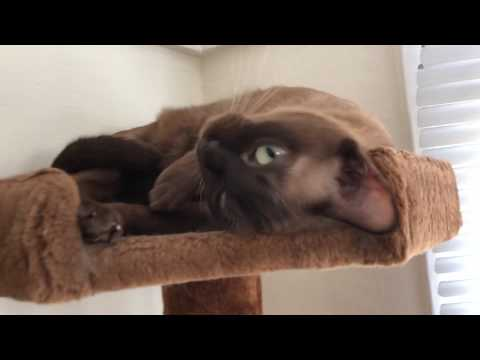 Russian Blue and Burmese cats chill on cat tower