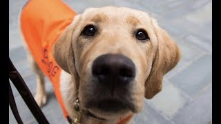 LIVE: Guide Dog Puppy Training in NYC Park - SUNNY   The Dodo LIVE
