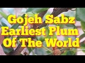 Fruit In April! Earliest Plum Of The World: Gojeh Sabz